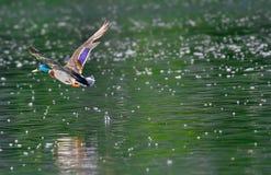 Stockente, die über den See fliegt stockfotografie