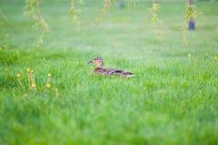 Stockente, die im hohen grassMallard sich versteckt im Gras sich versteckt Entenstillstehen lizenzfreie stockfotografie