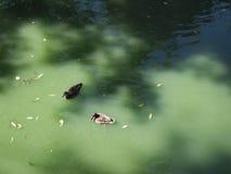 Stockente Duck Drake Lizenzfreies Stockfoto