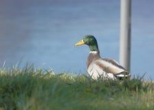 Stockente Duck Drake Stockfotografie