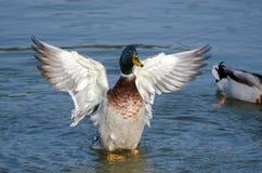 Stockente Duck Drake Spreads Wings in fügender Anzeige Stockfoto