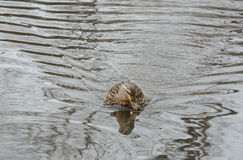 Stockente Duck Hen Lizenzfreie Stockfotografie