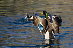 Stockente Duck Stretching Its Wings auf dem Wasser Stockbild