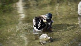 Stockente in einem Teich stock video