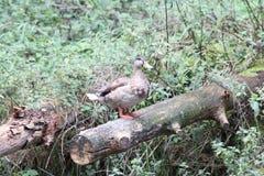 Stockente  Mallard  (Anas platyrhynchos) Stock Image