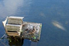 Stockente und Entlein auf Vogelhausplattform Lizenzfreies Stockfoto
