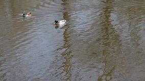 Stockenten埃尔佩尔schwimmt auf einem Teich 股票视频