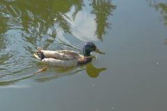 Stockenten-Ente auf dem See Stockbild
