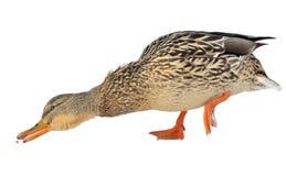 Stockenten-Ente, die für Nahrung ausdehnt Lizenzfreie Stockfotografie