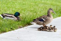 Stockenten-Ente-Familie Stockfotografie