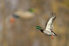 Stockenten-Ente im Flug Stockfoto