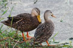 Stockenten-Enten Stockbilder