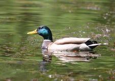 Stockenten-Grün ging Duck Anas-platyrhynchos - Mann voran Lizenzfreies Stockbild