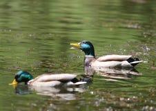 Stockenten-Grün ging Duck Anas-platyrhynchos - Mann voran Stockfoto