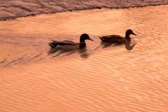 Stockenten silhouettiert gegen einen schönen See an der Dämmerung stockbild