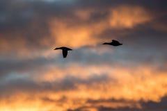 Stockenten silhouettiert gegen einen schönen Sonnenunterganghimmel stockfotografie