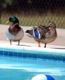 Stockentepaare an einem allgemeinen Swimmingpool Lizenzfreies Stockbild