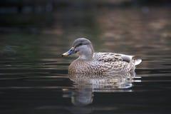 Stockenteschwimmen auf einem Teich lizenzfreie stockfotografie