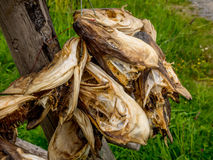Stockfisch-Köpfe, die hängen, um zu trocknen Lizenzfreies Stockfoto