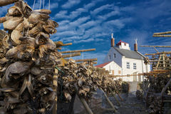 Stockfish. Dried stockfish, heads of cod, near old lighthouse on Vaeroy, Lofoten islands in Norway Stock Photography