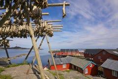 Stockfish auf Lofoten lizenzfreie stockbilder