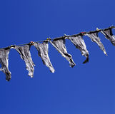 Stockfish at a clothesline Royalty Free Stock Image