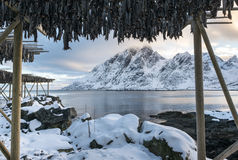 Stockfish (cod) drying during winter time on  Lofoten Islands Royalty Free Stock Images