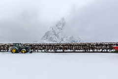 Stockfish (cod) drying during winter time on  Lofoten Islands, Royalty Free Stock Photos