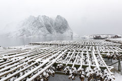 Stockfish (cod) drying during winter time on  Lofoten Islands, Stock Photo