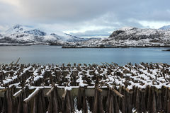 Stockfish (cod) drying during winter time on  Lofoten Islands Royalty Free Stock Photos