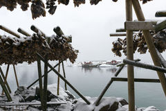 Stockfish (cod) drying during winter time on  Lofoten Islands, Royalty Free Stock Images