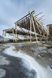 Stockfish  (cod) hang on drying rack in Norwegian fishery Stock Images