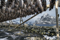 Stockfish (cod) in winter time in Gimsoy, Lofoten Islands, Norwa Stock Images