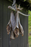 Stockfish hanging outside house Royalty Free Stock Image