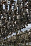 Stockfish hanging in the winter in Reine, Lofoten Islands, Norwa Stock Image