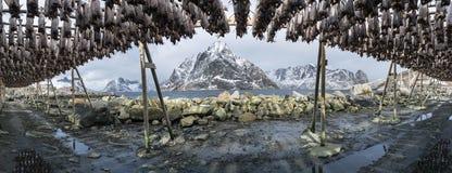 Stockfish hanging in the winter in Reine, Lofoten Islands, Norwa Royalty Free Stock Photo