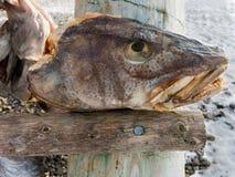 Stockfish head on rack in Svolvaer, Lofoten,  Norway Stock Photo