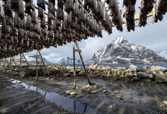 Stockfish on Lofoten Islands Stock Photos