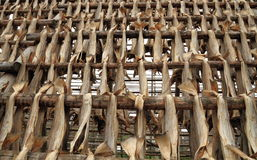 Norway: Stockfish Production Stock Photography