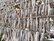 Stockfish on rack in Svolvaer, Lofoten, Norway Royalty Free Stock Photo