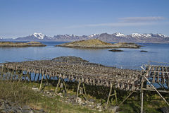Stockfish racks in Lofoten Stock Photography