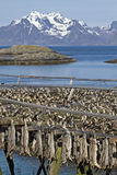 Stockfish racks in Lofoten Royalty Free Stock Photography