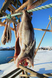 Stockfish  and snow Royalty Free Stock Photography