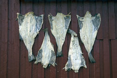 Stockfish at a wall Stock Photography