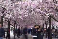 Stockholm/Sverige - Maj 2 2018: Träd för körsbärsröd blomning i Stockholm royaltyfria foton
