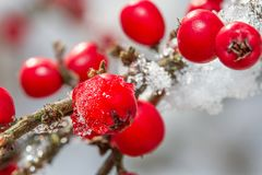 Stocki-roÅ› weißer Schnee liny 2108 und rote Stechpalmenbeeren Stockfotos