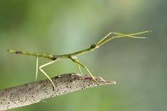 Stockinsekt, einzigartiges Insekt, schönes Insekt stockfoto