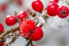 Stockiroå Witte sneeuw› gelijnde 2108 en rode hulstbessen Stock Foto's