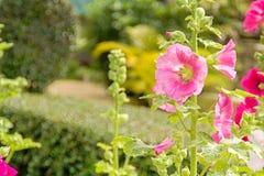 Stockrosblomma på grön bakgrund i trädgården Arkivbild