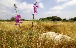 Stockrosblomma på våren Arkivfoton